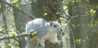 A Delmarva Fox Squirrel (image courtesy of DNREC)